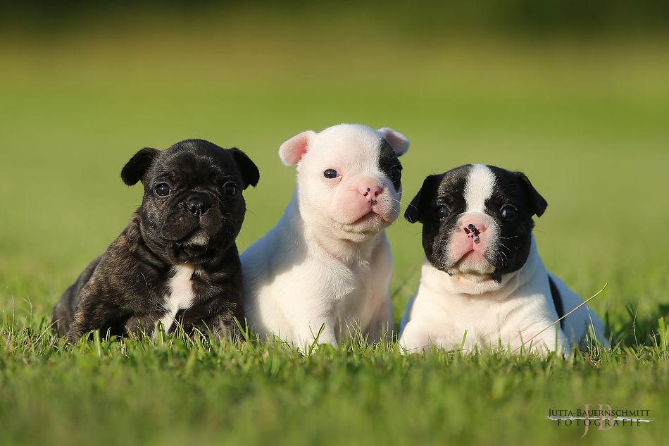 E-Wurf Französische Bulldoggen von Himmelkron