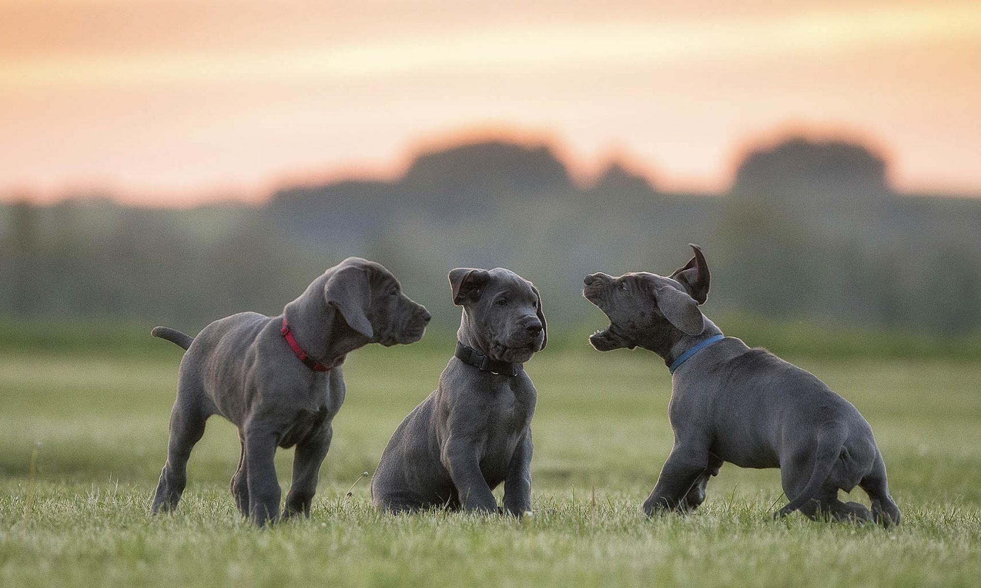 Deutsche Doggen von der Bocksleite